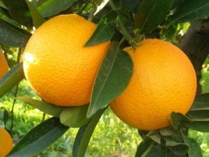 Vitamin C - Orange